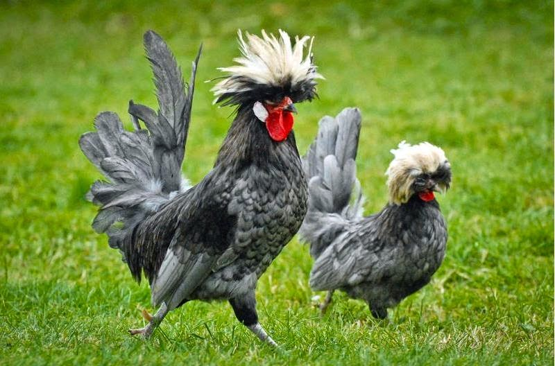 budidaya ayam poland