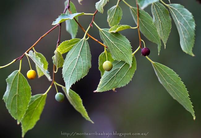 Fruto del Almez o Celtis australis