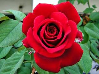 khasiat dan manfaat bunga mawar