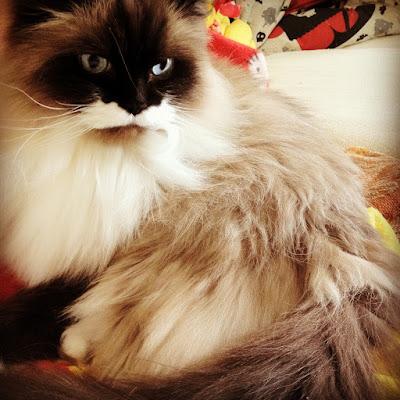 Himilayan Kitty