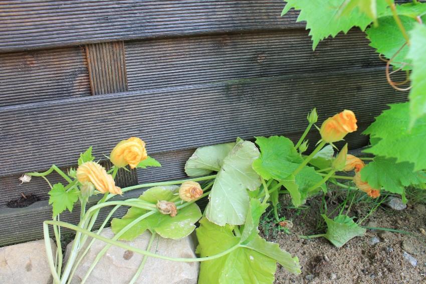 Zucchine in fiore