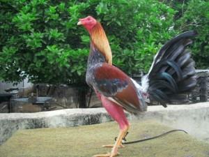 Ver Fotos de Gallos de Pelea del Mundo