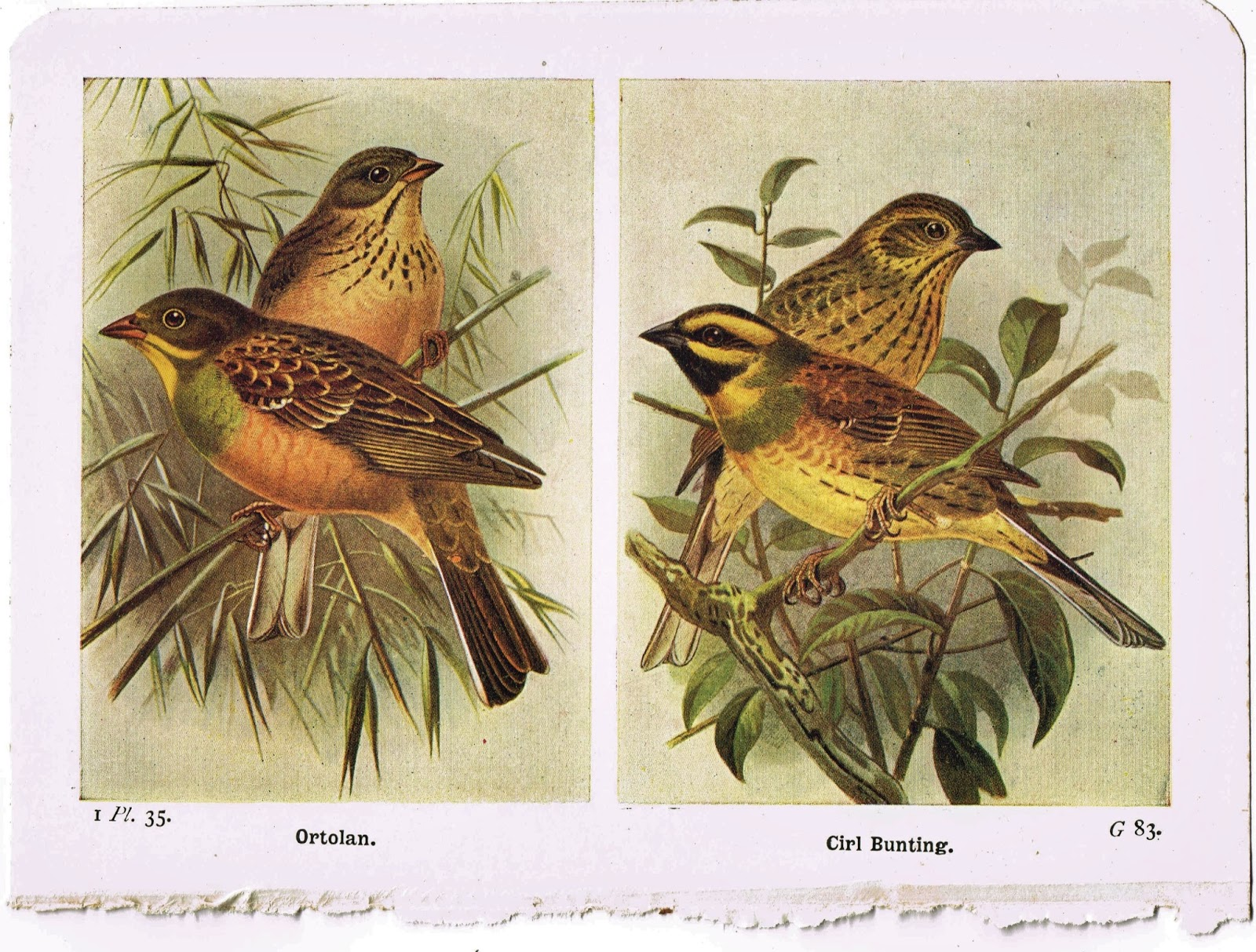 & Antique Graphics Wednesday - 1920u0027s Bird Book Plates | Knick of Time