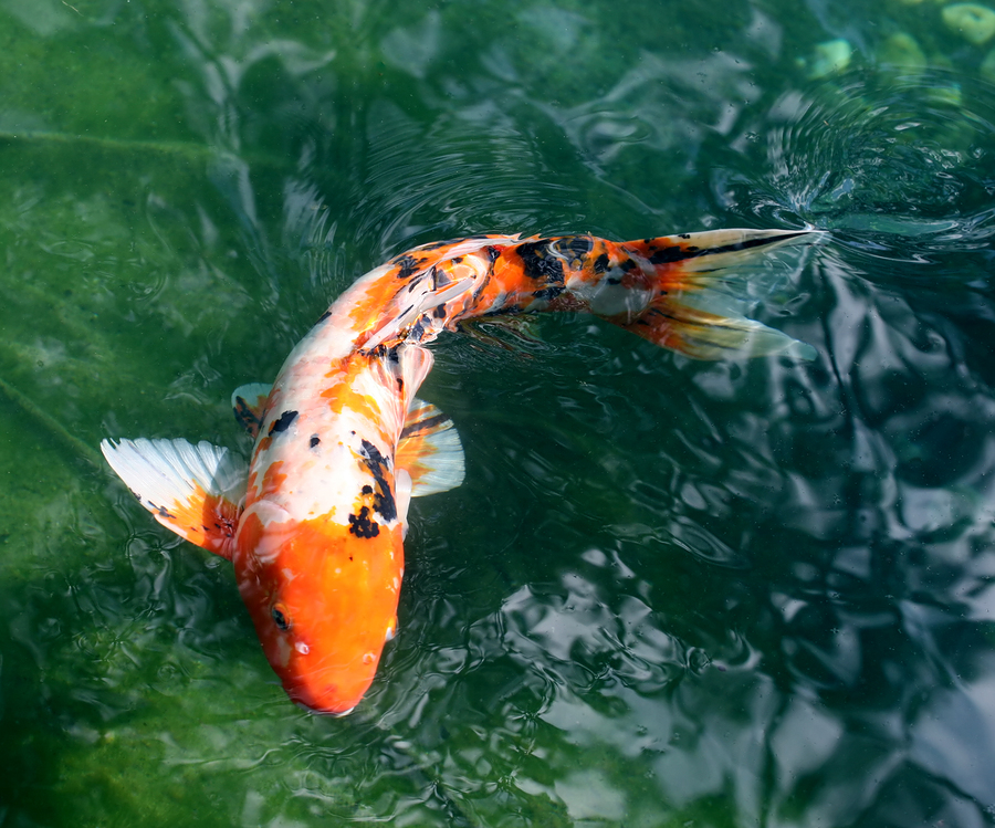 The charmed life koi ahoy for Koi fish in pool