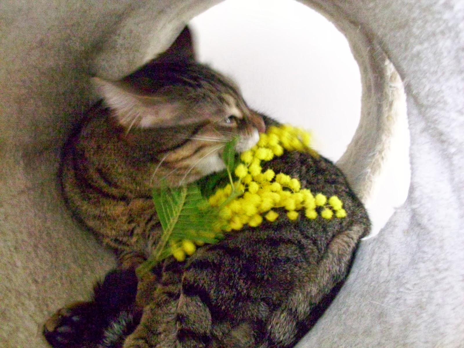 La mia gatta, Tatina, che sgranocchia una mimosa