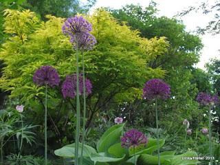 Allium Purple Sensation , Gul bladig fläder