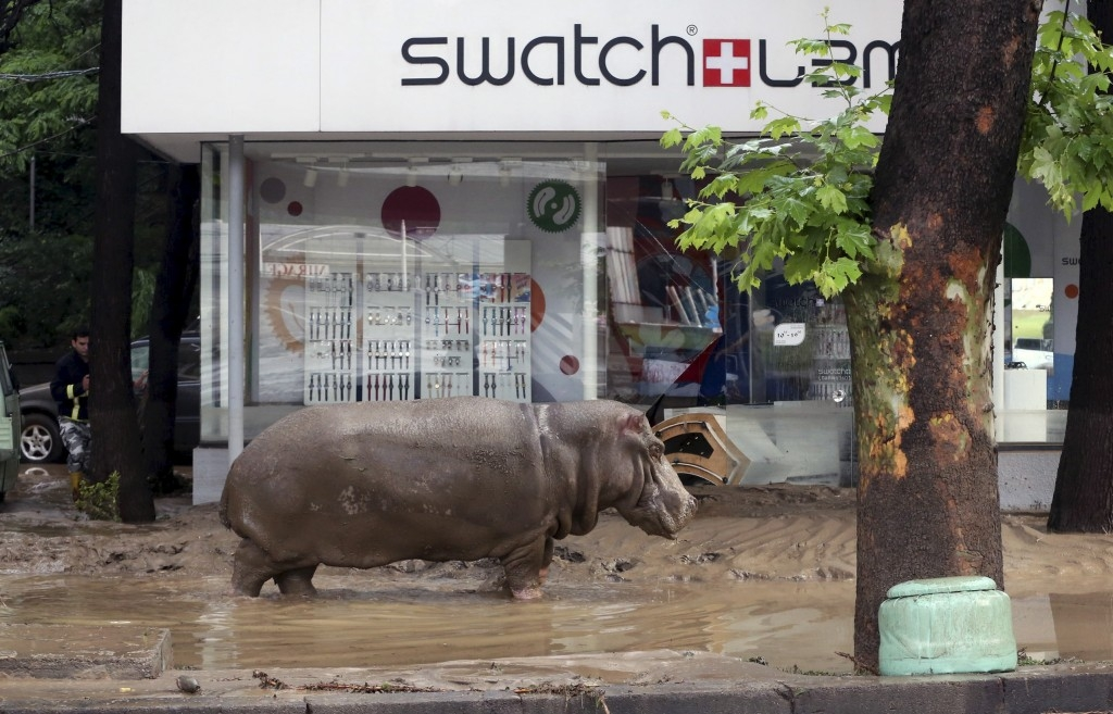 70 Of The Most Touching Photos Taken In 2015 - A hippopotamus walks across a flooded street in Tbilisi, Georgia, after tigers, lions, bears and wolves escaped from a zoo during flooding.