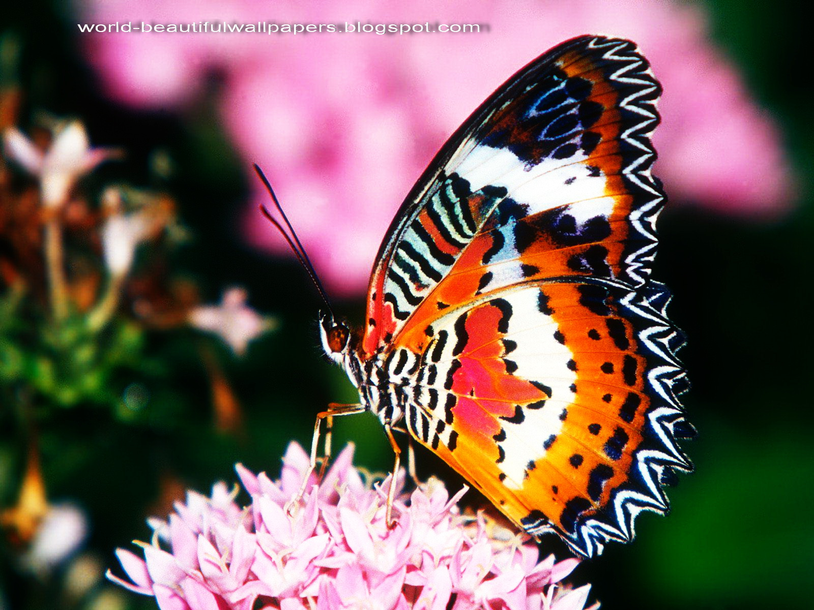 Beautiful Wallpapers: Beautiful Butterflies Wallpaper