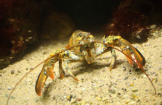 Homarus americanus - Langosta americana - Naica animales salvajes