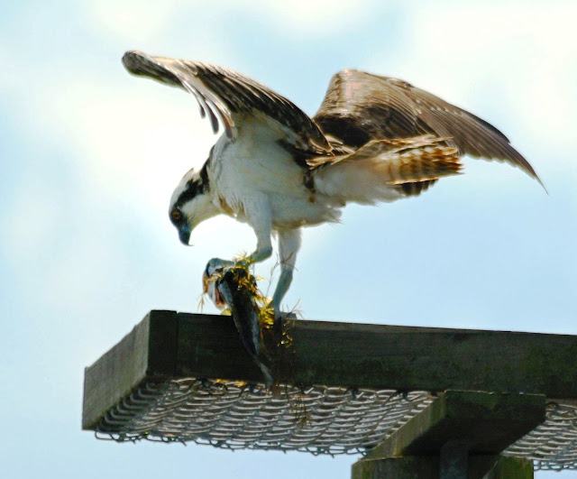 osprey-eating-fish-crop