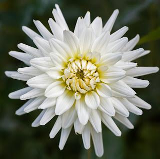 http://2.bp.blogspot.com/-MWY6PajNZls/TuWpe9V4XOI/AAAAAAAAAVM/PSz2bW1e29o/s1600/Dahlia+Putih.jpg
