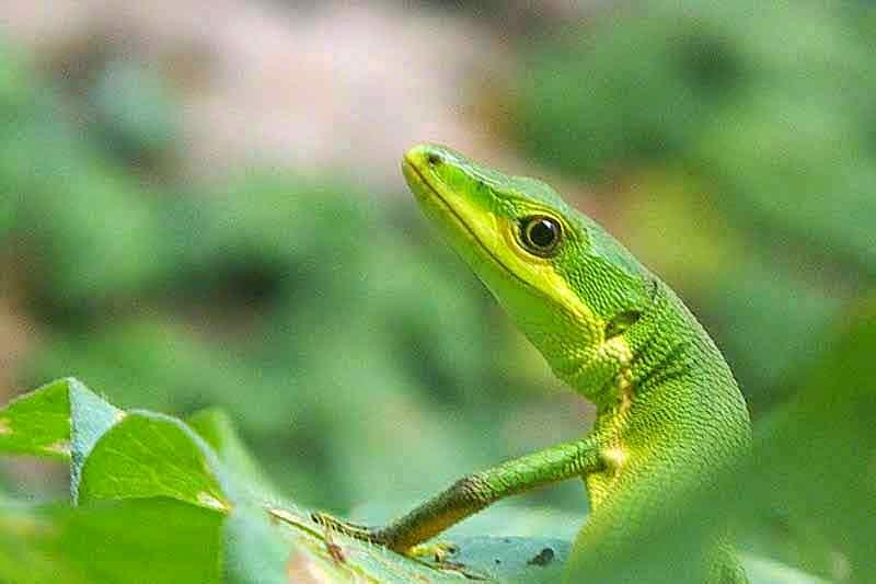 Takydromus,lizard, green