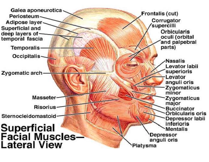 Epicranius Fron... Frontalis Muscle Origin Insertion Action
