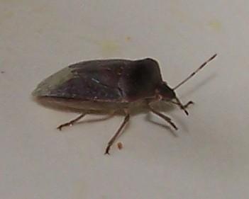 Descrizione cimice dei letti for Cimice insetto