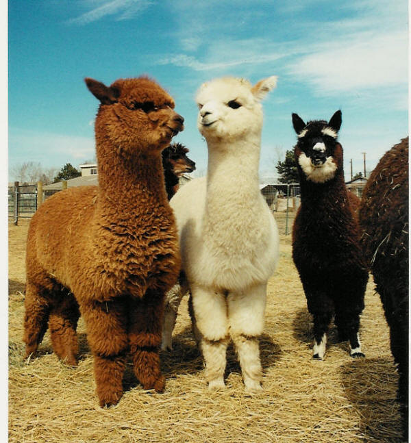 lpacas are aler... Llama Emperors New Groove