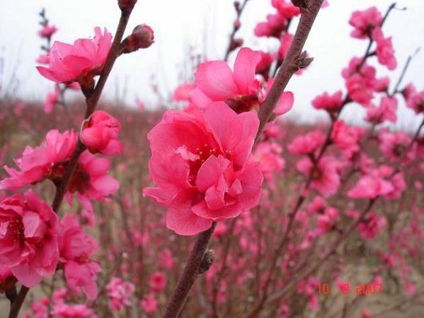 Kết quả hình ảnh cho hoa đào ngày tết