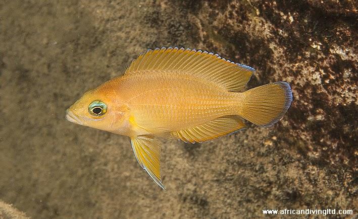 variabilichromis_moorii_subadult_kapere.