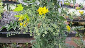 Species Tomato