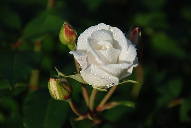 Foto Weiße Rose