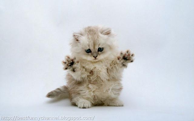 Funny white kitten.
