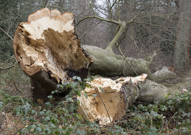 Felled Beech on Hayes Common, 3 March 2013.