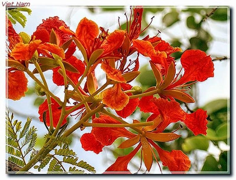 hình ảnh hoa phượng đỏ đẹp nhất