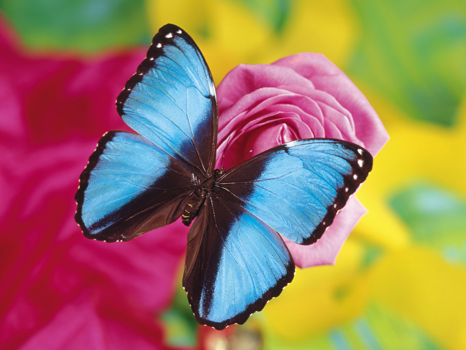 Http Unikwallpaper Blogspot Com 2012 07 Exotic Butterfly Html