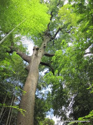 Woo Yong Shan tree in Hangzhou