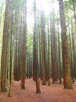Tall trees (Credit: David Ashford/Flickr) Click to Enlarge.