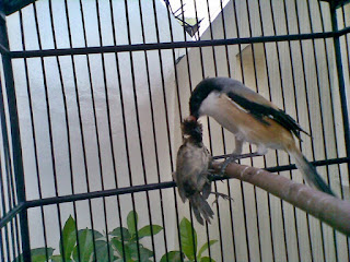 Cara Mengatasi Burung Cendet Terlalu Galak