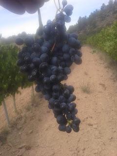 sira syrah harvest