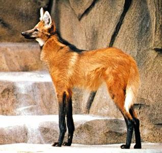 lobo-vermelho