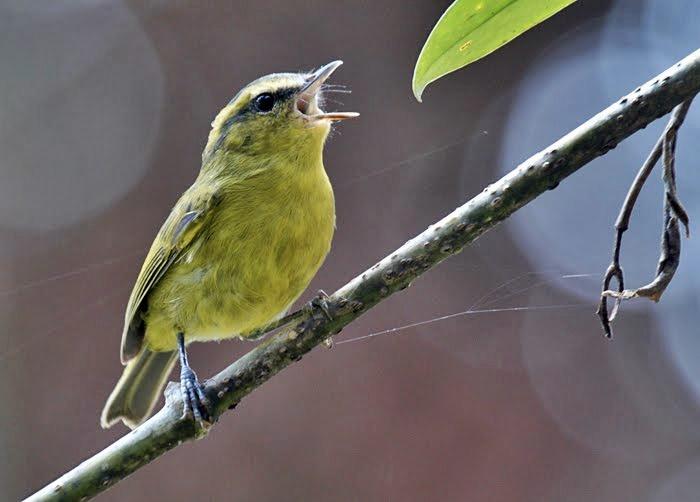burung cikrak daun ocehankenari nama burung nya adalah cikrak daun