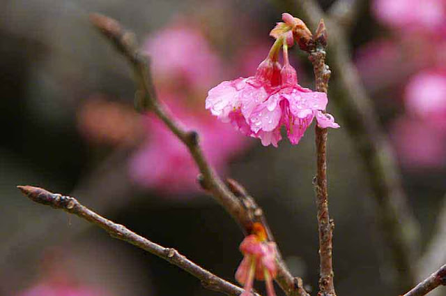 buds, branches, cherry blossom, waterdrops
