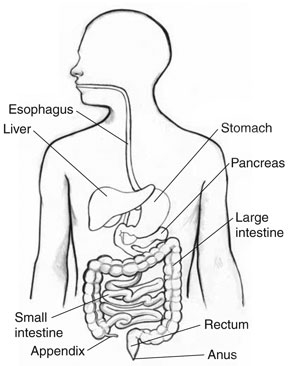 Excretory system colouring pages page 2 - Get Well Live Well Be Well Digestive Health Where To