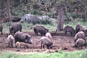 Wild hogs are known to carry numerous diseases some affect livestock