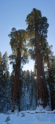 Two Giant Sequoias in winter