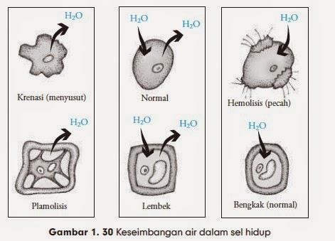 Keseimbangan air dalam sel hidup