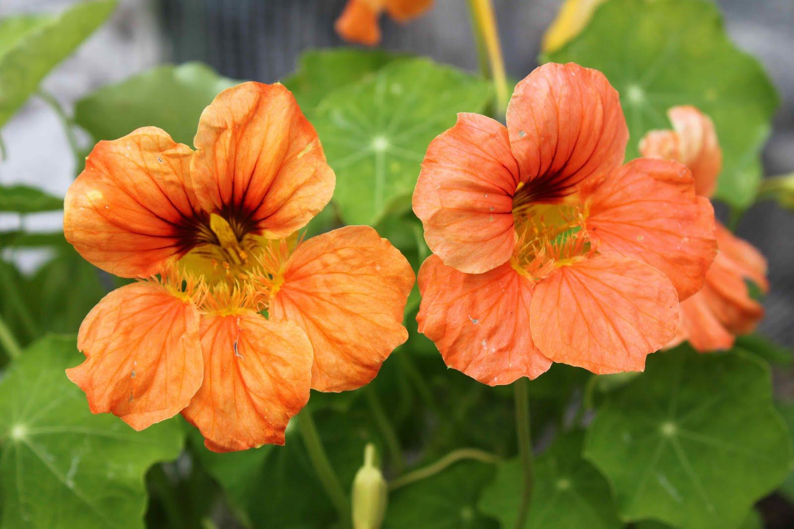 Niki Jabbour The Year Round Veggie Gardener Nasturtiums Edible Flower Po