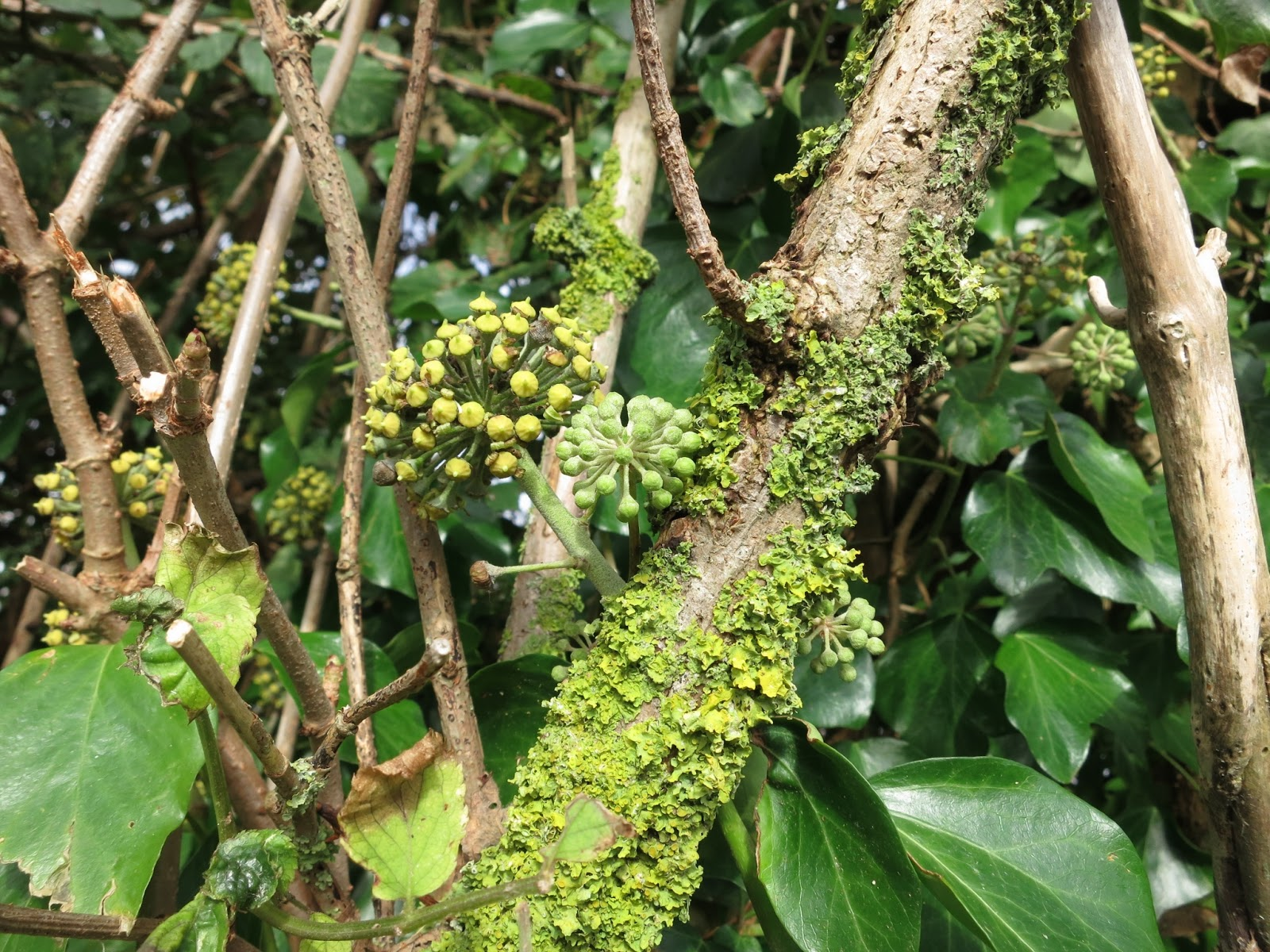 Ivy flowers and Common Orange Lichen (Xanthoria parietina)