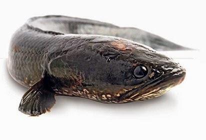 manfaat ikan gabus bagi penderita diabetes,ikan gabus untuk patah tulang,ikan gabus bagi ibu hamil,ikan gabus untuk penyembuhan luka,ikan gabus untuk ibu hamil,