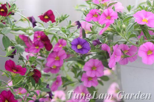 dạ yến thảo, dạ yến thảo rủ, hoa treo, hoa ban công