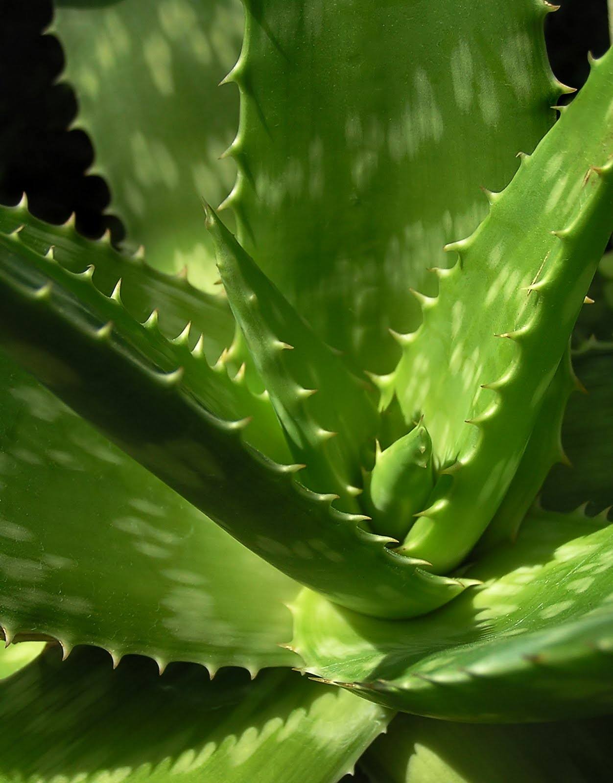 aloe vera arborescens plant 4 6 inch long 2 plant. Black Bedroom Furniture Sets. Home Design Ideas