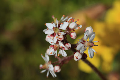 Saxifraga mertensiana - Merten's Saxifrage
