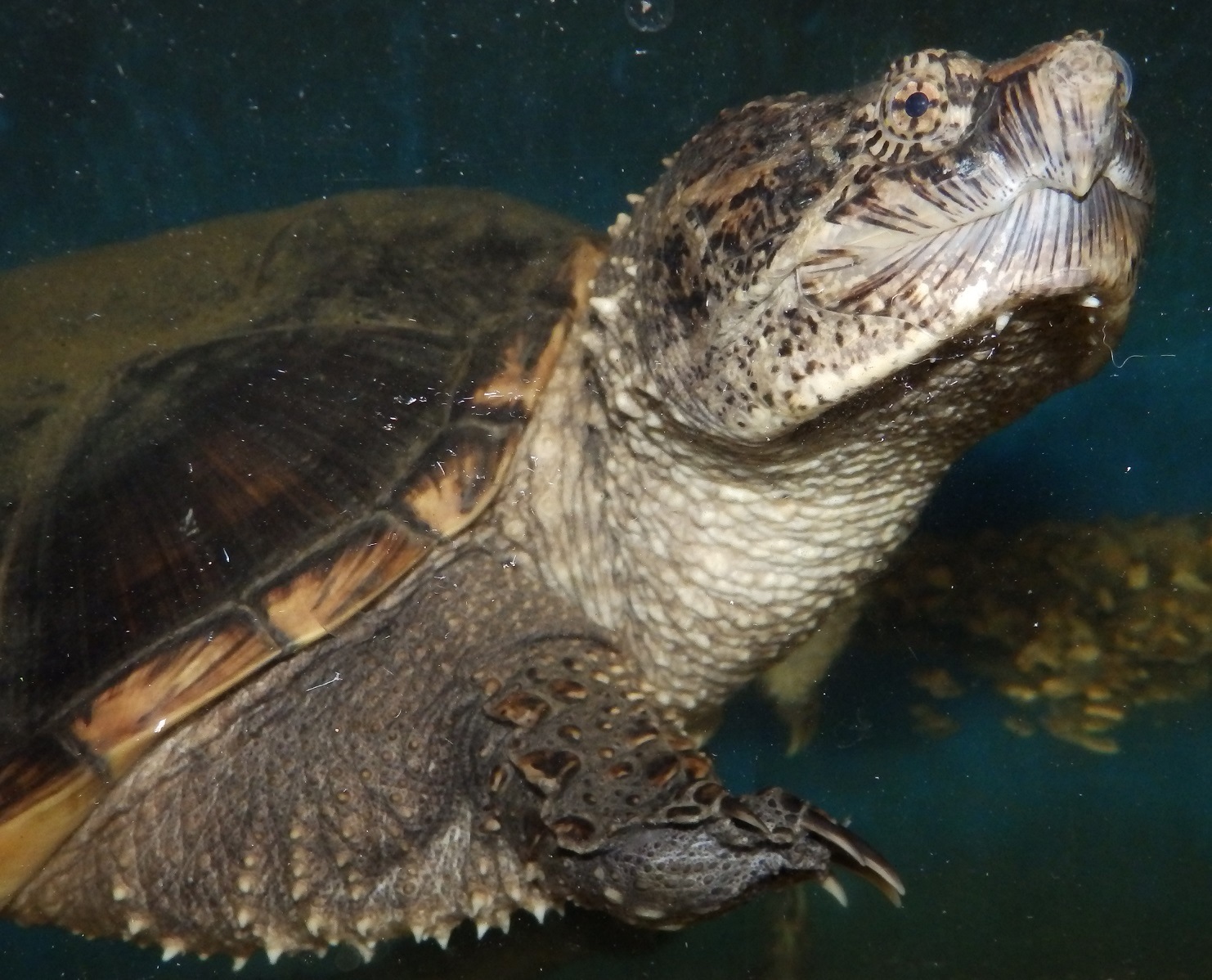 Snapping turtle sex need put