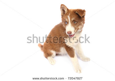 Brown Siberian huskies Pictures