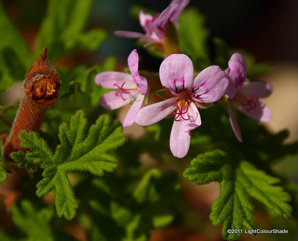 Pale lilac geranium flowers (Pelargonium graveolens)