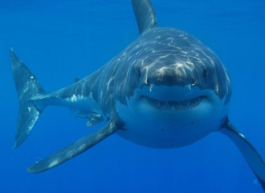 R Fisheries Fish R: Shark F...