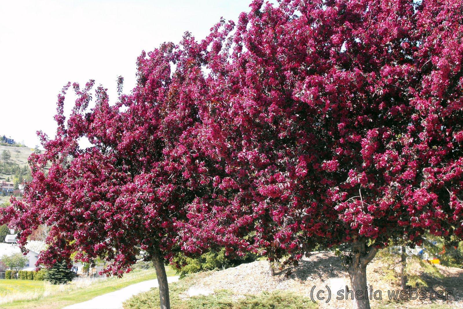 We Love Kamloops Springtime Spring Blossoms Kamloops Bc
