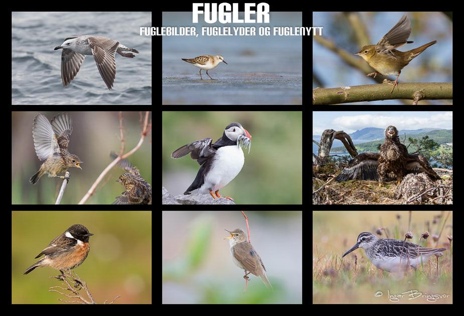 Fugler - fuglebilder, fuglelyder og fuglenytt